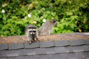 Critter on top of roof